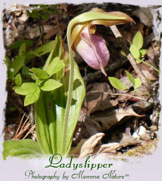 Lady Slipper - Photo by Chuck Yancey and Momma Nature™