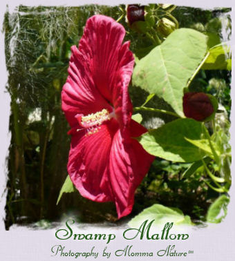 Swamp Mallow - Photography by Momma Nature™